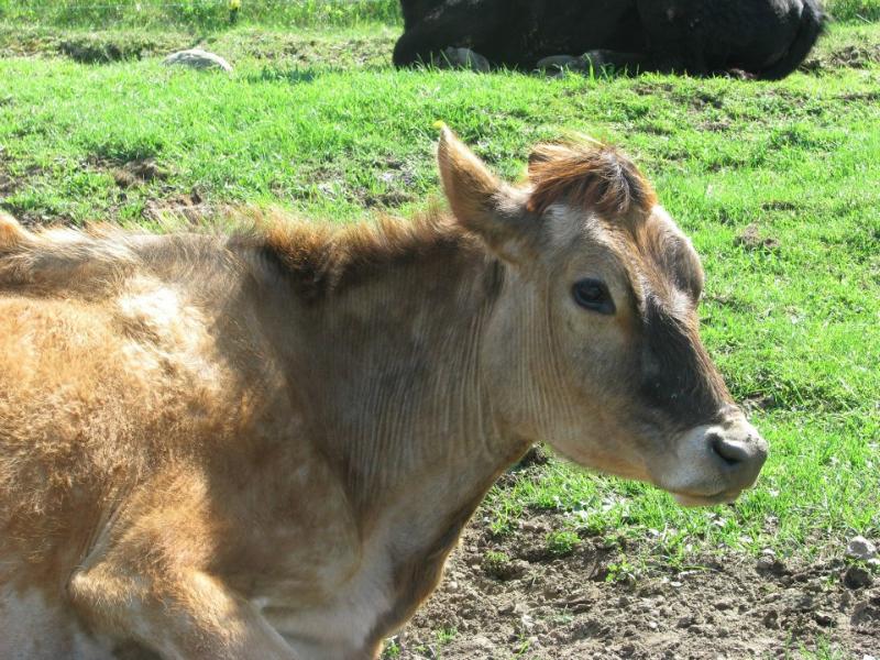 cow-3