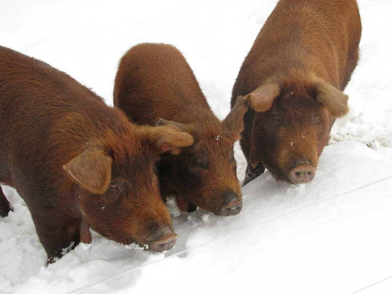 pigs-snow-january-february-2010-59