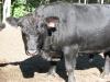 cows-bull-gipper-august-2012-353
