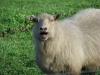 goat-1