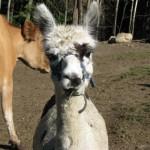 """Beana"" the Alpaca"