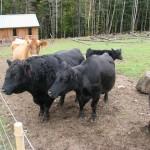 COWS - September 2012 430