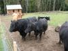 cows-september-2012-430