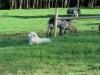 llama-dog